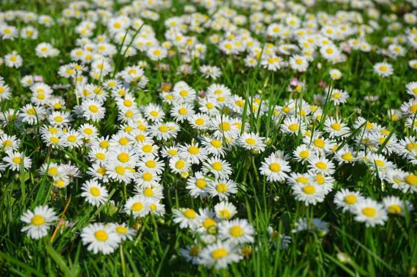 daisy-flower-blossom-bloom.jpg